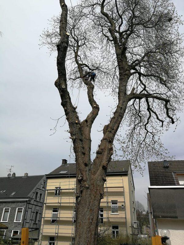 Baumpflege in der Baumkrone